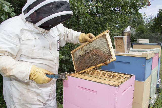 Dr. Lee Kavanagh tends one of the beehives at his College Station, Texas, home.