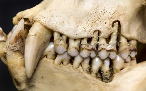 This macaque mandible used in the study reveals the severe recession and porous appearance of the alveolar bone.