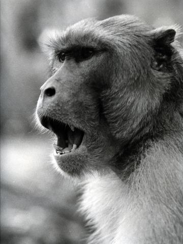 A macaque opens its mouth.