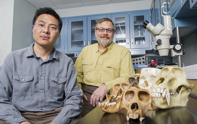 Dr. Qian Wang and Paul Dechow with some of the models used in their studies of primate and human craniofacial evolution