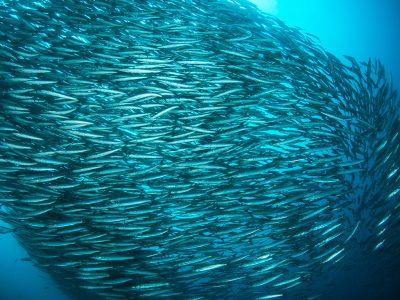 A school of barracudas